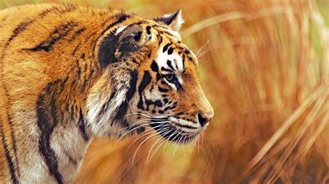 Wallpaper Bengal Tiger, HD, 5K, Animals, #15086
