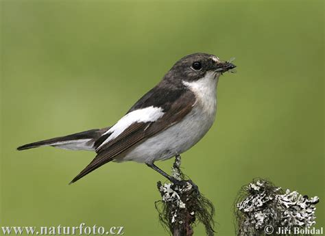 Ficedula hypoleuca Pictures, Pied Flycatcher Images