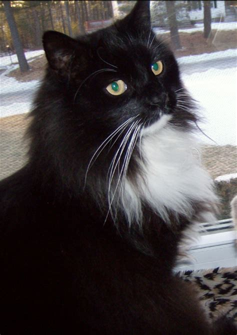 Cat Finders » Blog Archive » Lost tuxedo cat, Salem, NH
